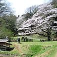 人気の1本の桜です。
