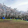 桜山の頂上・満開の桜です。